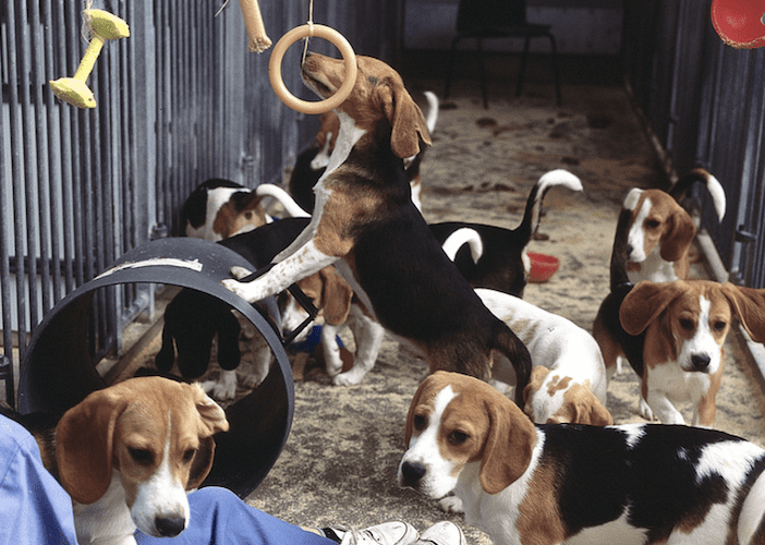 Animal-Testing-Beagles-China
