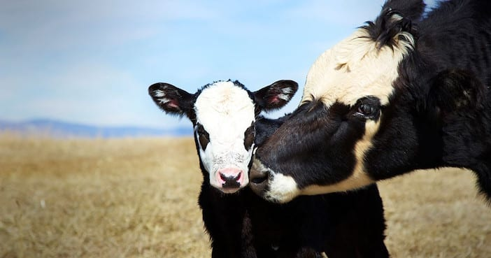 Cows-in-a-pasture-supported-by-the-life-saving-work-of-Mercy-For-Animals